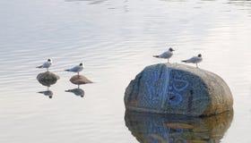Μαυροκέφαλος γλάρος τέσσερα που στέκεται στις πέτρες Στοκ Εικόνα
