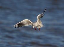 Μαυροκέφαλος γλάρος Στοκ φωτογραφία με δικαίωμα ελεύθερης χρήσης