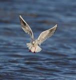 Μαυροκέφαλος γλάρος Στοκ φωτογραφίες με δικαίωμα ελεύθερης χρήσης