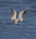Μαυροκέφαλος γλάρος Στοκ Φωτογραφία