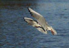 Μαυροκέφαλος γλάρος (ridibundus Larus) Στοκ φωτογραφίες με δικαίωμα ελεύθερης χρήσης