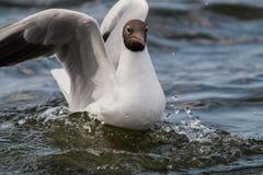 Μαυροκέφαλο πορτρέτο γλάρων Στοκ Φωτογραφίες
