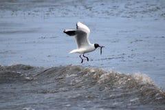 Μαυροκέφαλο Seagull που αλιεύει στη θάλασσα Στοκ Φωτογραφίες