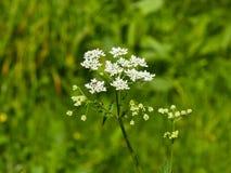 Μαϊντανός αγελάδων ή άγριος φραγκομαϊντανός, sylvestris Anthriscus, μακρο, εκλεκτική εστίαση συστάδων λουλουδιών, ρηχό DOF Στοκ Εικόνες