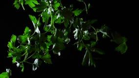 Μαϊντανός στο μαύρο υπόβαθρο Πλαίσιο Μειωμένος πράσινος μαϊντανός που κόβεται στο μαύρο υπόβαθρο κίνηση αργή φιλμ μικρού μήκους
