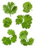 μαϊντανός cilantro στοκ εικόνα