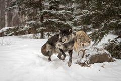 Μαύρα άλματα Λύκου Canis λύκων φάσης γκρίζα μακρυά από το χειμώνα σφαγίων στοκ φωτογραφίες