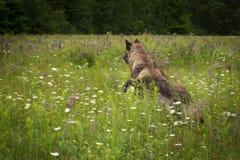 Μαύρα άλματα Λύκου Canis λύκων φάσης γκρίζα μέσω του τομέα Στοκ εικόνα με δικαίωμα ελεύθερης χρήσης