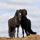 μαύρα άλογα δύο Στοκ φωτογραφία με δικαίωμα ελεύθερης χρήσης