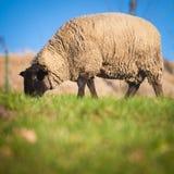 μαύρα αντιμέτωπα πρόβατα κατά τη βοσκή Σάφολκ λιβαδιών Στοκ Εικόνες