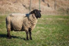 μαύρα αντιμέτωπα πρόβατα κατά τη βοσκή Σάφολκ λιβαδιών Στοκ φωτογραφίες με δικαίωμα ελεύθερης χρήσης