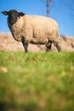μαύρα αντιμέτωπα πρόβατα κατά τη βοσκή Σάφολκ λιβαδιών Στοκ φωτογραφία με δικαίωμα ελεύθερης χρήσης