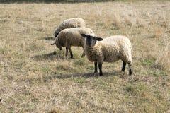 Μαύρα αντιμέτωπα πρόβατα κατά τη βοσκή του Σάφολκ στο λιβάδι Στοκ Φωτογραφίες