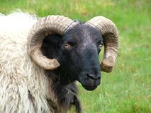 μαύρα αντιμέτωπα πρόβατα Στοκ εικόνες με δικαίωμα ελεύθερης χρήσης
