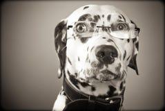 μαύρα δαλματικά γυαλιά που φορούν το λευκό Στοκ φωτογραφία με δικαίωμα ελεύθερης χρήσης
