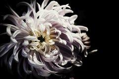 Μαύρα εκλεκτής ποιότητας όμορφα λουλούδια σχεδίου λουλουδιών που γίνονται με το χρώμα φ Στοκ εικόνες με δικαίωμα ελεύθερης χρήσης