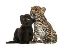 Μαύρα και επισημασμένα cubs λεοπαρδάλεων που κάθονται το ένα δίπλα στο άλλο Στοκ Φωτογραφία