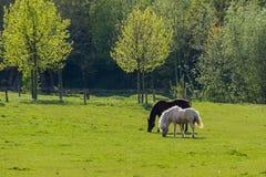 Μαύρα και καφετιά άλογα που περπατούν πέρα από το λιβάδι μπροστά από τα δέντρα Στοκ φωτογραφίες με δικαίωμα ελεύθερης χρήσης