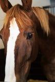 Μαύρα και καφετιά άλογα στο στάβλο και το λιβάδι Στοκ Εικόνα