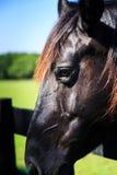 Μαύρα και καφετιά άλογα στο στάβλο και το λιβάδι Στοκ Εικόνες