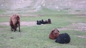 Μαύρα και καφετιά πρόβατα απόθεμα βίντεο