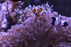 Μαύρα και κόκκινα clownfishes Στοκ φωτογραφίες με δικαίωμα ελεύθερης χρήσης