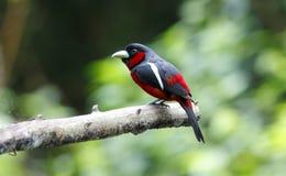 Μαύρα και κόκκινα macrorhynchos Broadbill Cymbirhynchus Στοκ Φωτογραφίες