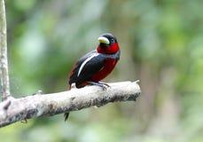 Μαύρα και κόκκινα macrorhynchos Broadbill Cymbirhynchus Στοκ εικόνα με δικαίωμα ελεύθερης χρήσης