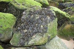 Μαύρα και πράσινα φύκια σε έναν βράχο στοκ εικόνες
