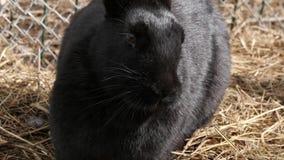 Μαύρα κουνέλια σε ένα αγρόκτημα ζωολογικός κήπος κατοικίδιων ζώων σε επαφή 4K φιλμ μικρού μήκους