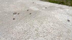 Μαύρα μυρμήγκια στο σκυρόδεμα φιλμ μικρού μήκους