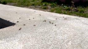 Μαύρα μυρμήγκια στο σκυρόδεμα απόθεμα βίντεο