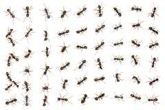 Μαύρα μυρμήγκια στοκ φωτογραφίες με δικαίωμα ελεύθερης χρήσης