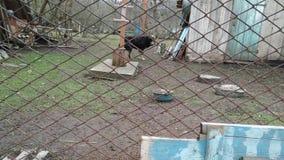 Μαύρα παλαιά σκυλιά ρολογιών από το πίσω μέταλλο καθαρό απόθεμα βίντεο
