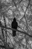 Μαύρα πουλιά στη λίμνη του Κύκνου και τους κήπους της Iris Στοκ Εικόνες