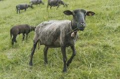Μαύρα πρόβατα κατά τη βοσκή στον τομέα Στοκ Εικόνες