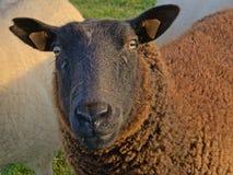 Μαύρα πρόβατα που εξετάζουν σας ovis aries Στοκ εικόνες με δικαίωμα ελεύθερης χρήσης