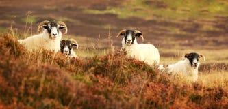 Μαύρα πρόβατα προσώπου Στοκ εικόνα με δικαίωμα ελεύθερης χρήσης