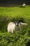 μαύρα πρόβατα προσώπου Στοκ εικόνες με δικαίωμα ελεύθερης χρήσης