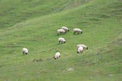 μαύρα πρόβατα προσώπου Στοκ Φωτογραφία