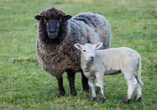 μαύρα πρόβατα προσώπου Στοκ Εικόνες
