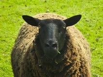 Μαύρα πρόβατα σε ένα λιβάδι (ovis aries) Στοκ φωτογραφία με δικαίωμα ελεύθερης χρήσης