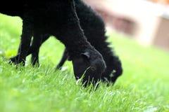 Μαύρα πρόβατα στη χλόη στοκ εικόνες με δικαίωμα ελεύθερης χρήσης
