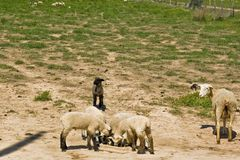 μαύρα πρόβατα Στοκ εικόνες με δικαίωμα ελεύθερης χρήσης