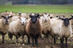 μαύρα πρόβατα Στοκ Φωτογραφία