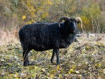 Μαύρα πρόβατα Hebridean Στοκ Φωτογραφίες