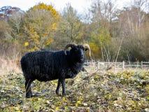 Μαύρα πρόβατα Hebridean Στοκ φωτογραφία με δικαίωμα ελεύθερης χρήσης