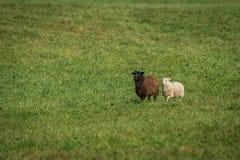 Μαύρα πρόβατα Ovis aries και άσπρος περίπατος προβάτων μέσα Στοκ Φωτογραφία