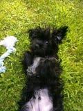 Μαύρα σκυλιά κουταβιών που βάζουν στη χλόη στοκ φωτογραφία με δικαίωμα ελεύθερης χρήσης