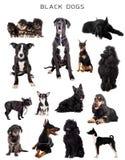 Μαύρα σκυλιά στο λευκό Στοκ Εικόνα